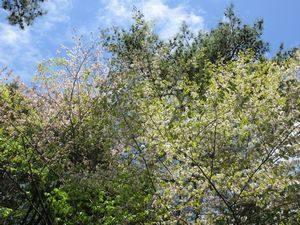 吉野山の葉桜