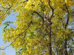 インドの黄色い花