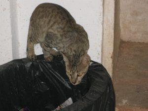 インドの猫