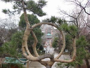 寛永寺 清水観音堂の「月の松」