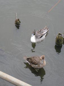 不忍池を泳ぐ水鳥
