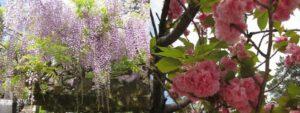 藤の花と八重桜