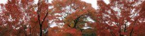 平等院の紅葉