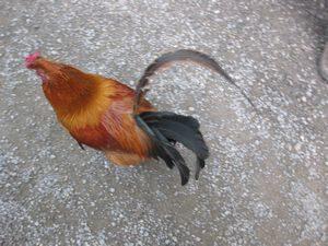 熱田神宮の鶏