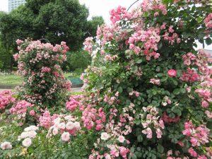 芝公園のバラの花