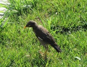 ウズベキスタンでやたらと見かけた鳥